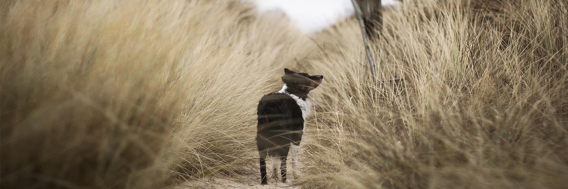 hond op duinpad