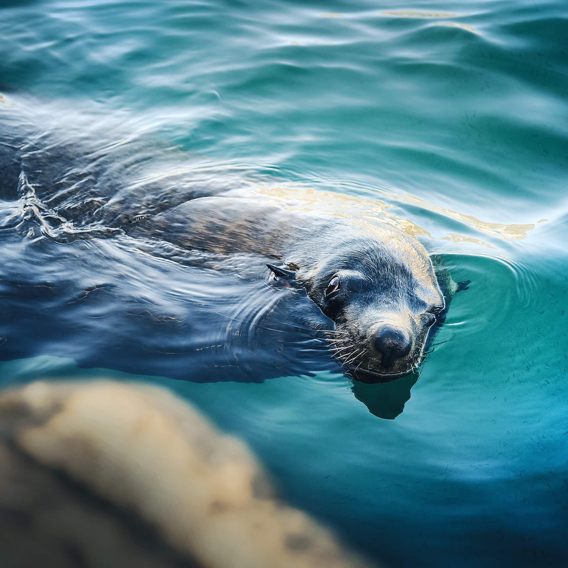 Zeeleeuw in het water