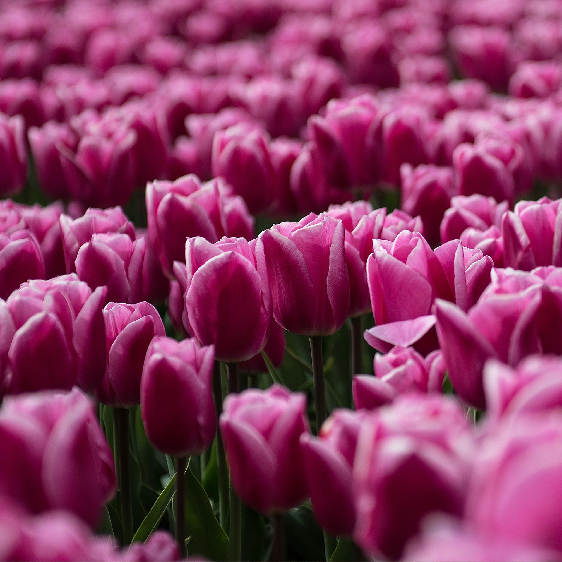 Buitenhof (Lelystad) - tulpen