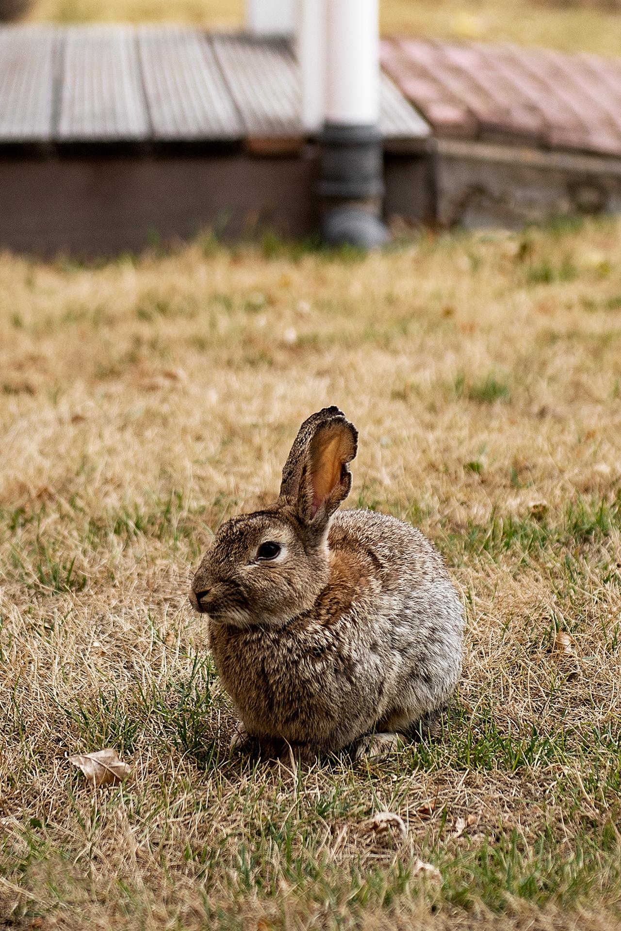 konijn bij Cape Helius (Hellevoetsluis)